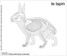 looking up head drawing ref Rabbit Anatomy, Leg Anatomy, Animal Anatomy, Anatomy Drawing, Anatomy Art, Manga Drawing, Animal Skeletons, Skeleton Muscles, Animal Drawings