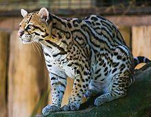 Ocelot (Jaguatirica) Zoo Itatiba.jpg
