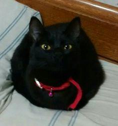 Morita Cute Black Cats, Tango, Animals, Dogs, Gatos, Animales, Animaux, Animal, Animais