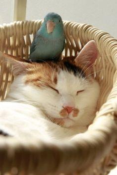 So here's the deal. I sleep in the basket and you sleep on my furry head. #cat #bird