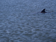 Dolphin fin--we see them swimming by on the Indian River Lagoon