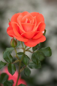 Marmalade Skies Rose (Floribunda) - Tangerine-orange blooms are produced in abundance from the beginning to end of the season on a healthy plant having medium olive green satiny foliage
