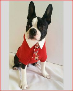 19 weeks old  WHO?? ME??  NO not at all I am not sure what you talking about ...I wasn't even there when Santa Paws had the terrible accident  #clf27 #flatnosedogsociety #bostonterrierlove #naturaldogcompany #bostonterrier_feature #bostonterriersoverload #mydogiscutest #bostonsofinstagram #squishyfacecrew #lacyandpaws #littlerocky #rocky #shortsnouts #BarkleyThePomSquad #btcult #bostonterrier #bostonpups #bostonterriers #bostonpuppy #bostonpuppies #bostonterrierlove #bostonlove…