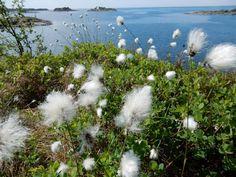 Tupasvillaa Porkkalanniemessä - Tussock cottongrass at Porkkalanniemi | Photo: Toivo Koivisto  | May 2016 Ocean Views, Serenity, Natural Beauty, Summertime, Traveling, Hiking, Places, Nature, Inspiration