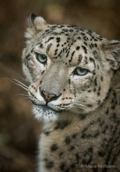 The snow leopard (Panthera uncia) is a large cat native to the mountain ranges of Central and South Asia.