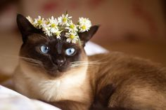".Siamese cat (who appears to really not be all that thrilled with the ""hat!"" LOL)."