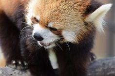 Red panda Seita at Maruyama Zoo in Hokkaido, Japan