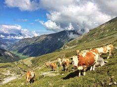 Rinder auf der Hochweide. Wie lange noch? Animals, Cattle, Farmers, Mountains, School, Viajes, Animales, Animaux, Animal
