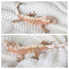Breeder: Underground gecko