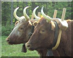 Year of the Oxen