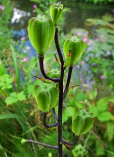 #Seed #pods