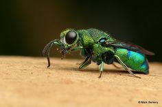 Neon Cuckoo Wasp