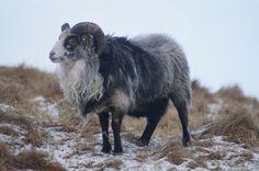 Wild sheep /Runde bird and treasure island, #Norway