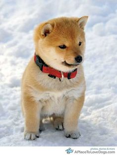 My recent obsession with the Japanese breed... Shiba Inu. Shiba Inu pup, very coote.
