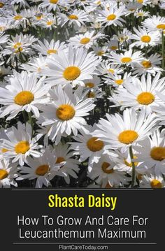 Outdoor Plants, Garden Plants, Growing Flowers, Planting Flowers, Budget Flowers, Shasta Daisies, Lawn And Garden, Garden Tips, Garden Ideas