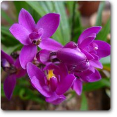 Ground Orchid, Spathoglottis Plicata: buy nursery plants online in pune,pimpri chinchwad,mumbai,delhi,banglore,noida,chennai,indore,hyderaba...