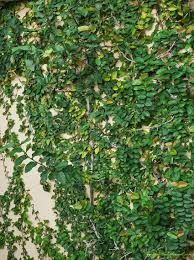 Ficus repens - Semi sombra o sombra, trepadora, soporta heladas, perenne
