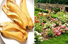 La cáscara de banana es una fuente de Potasio natural que es una pena no aprovechar. El potasio es el encargado de transportar los nutrientes por la planta y es muy importante para la formación de flores y frutos, en este video vamos a ver distintas formas de utilizar el potasio de la cascara