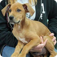 Prattville, AL - Hound (Unknown Type) Mix. Meet Cassieo 26091, a puppy for adoption. http://www.adoptapet.com/pet/17349073-prattville-alabama-hound-unknown-type-mix