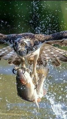 Osprey pretty birds, animals and pets, nature animals, birds of prey, all Nature Animals, Animals And Pets, Funny Animals, Cute Animals, Prey Animals, Pretty Birds, Beautiful Birds, Animals Beautiful, Wonderful Flowers