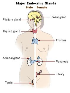 Endocrine glands are tissues or organs that excrete chemical substances (hormones) directly into the blood. Common endocrine glands are the hypothalamus, pineal, and adrenal glands. Fadiga Adrenal, Adrenal Glands, Thyroid Gland, Thyroid Hormone, Thyroid Disease, Addison's Disease, Autoimmune Disease, Fatigue Surrénale, Adrenal Fatigue