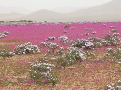 Atacama Desert in the Spring Gets Covered With Flowers. Desert Flowers, Desert Rose, Colorful Flowers, Wild Flowers, Wildwood Flower, Chile, Natural Earth, Aerial View, Beautiful Landscapes