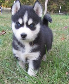 Super blue eyes siberian husky puppies for lovely homes Super blue eyes siberian husky puppies for lovely homes She also has lots of spirit and personality. She's great with kids and does well with other pets.