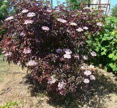 Sureau purpurea 'Thundercloud' Sambucus nigra Baies Noires