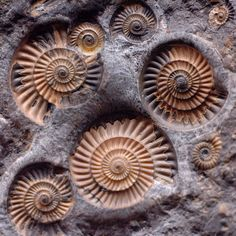 Ammonites at the Smithsonian. Originating from within the bactritoid nautiloids, the ammonoid cephalopods first appeared in the Devonian (circa 400 million years ago) and became extinct at the close of the Cretaceous (65.5 Ma) along with the dinosaurs.
