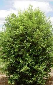 Acmena smithii screening shrubs to eastern boundary Pool Plants, Plant Species, Farm Gardens, Tropical Garden, Front Yard Landscaping, Shrubs, Lily, Landscape, Brisbane