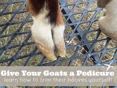 Trim your goat's hooves yourself