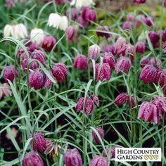 Fritillaria meleagris Bulbs, Fritillaria meleagris, Crown Imperial Bulbs