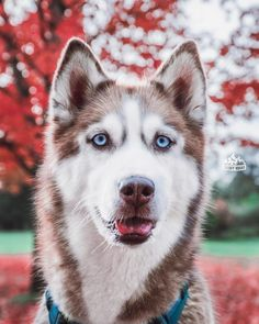 """646 Likes, 6 Comments - The Huskies diary  (@huskiesdiary) on Instagram: """"Blue eyes What a gorgeous shot captured by @huskysquad Follow me @huskiesdiary for more❤…"""""""