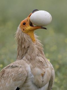 This looks like some type of vulture, stealing eggs from a nest. Pretty Birds, Love Birds, Beautiful Birds, Exotic Birds, Colorful Birds, Kinds Of Birds, Mundo Animal, Big Bird, Vulture