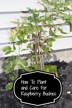 How To Plant and Care For Raspberry Bushes on http://pays2save.com