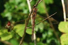 Brown Hawker | british-dragonflies.org.uk