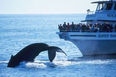 Whale watching in Bar Harbor, Maine. Acadia National Park, where you can witness the first American sunrise of the day, every day, from Cadillac Mountain.