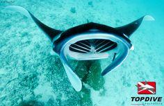 Manta ray in Bora Bora / Raie manta à Bora Bora