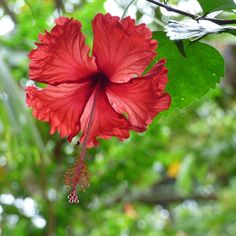 Tropical hibiscus - #gkhtropicalvacation - outside its native growing zone, this #flower is commonly grown #indoors as an attractive #houseplant. It needs bright light and warm temps to produce the lovely colorful #blooms.