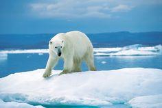 Les ours polaires mangent deux tiers de leur nourriture annuelle lors du printemps. Seulement 1 chasse sur 20 rencontre du succès pour les ours polaires lors des périodes les plus chaudes de l'année car la glace, qui leur est essentielle pour chasser le phoque, fond. La quantité de graisse pouvant être contenue dans un petit seau, soit 100 000 calories, peut permettre à ces ours de survivre une semaine.