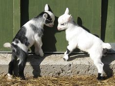 Pygmy Goats For Sale. Cabras Animal, Amor Animal, Cute Funny Animals, Cute Baby Animals, Animals And Pets, Farm Animals, Pygmy Goats For Sale, Mini Goats For Sale, Pigmy Goats