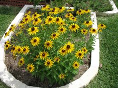 Top 10 Flowers That Bloom all Year Black-Eyed Susan