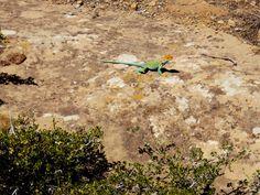 Lizard in Mesa Verde