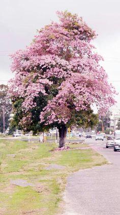 Pink Poui In Georgetown Guyana.