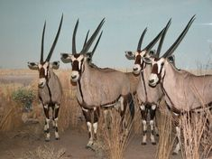 Oryx. The animal that started the unicorn legend.