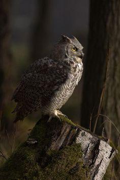 spiritofthewoodlands: Great Horned Owl by Milan Zygmunt Owl Photos, Owl Pictures, Beautiful Owl, Animals Beautiful, Owl Bird, Pet Birds, Nocturne, Nocturnal Birds, Great Horned Owl