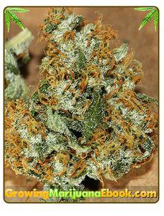 Marijuana Plant Manicuring http://www.growingmarijuanaebook.com/manicuring.php #weedplant #weed
