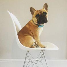 So cute / DSR Eames + bulldog