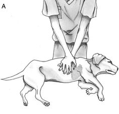 massage cardiaque chien moyen