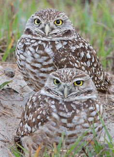 Source: Flickr / jnevitt #burrowing owl